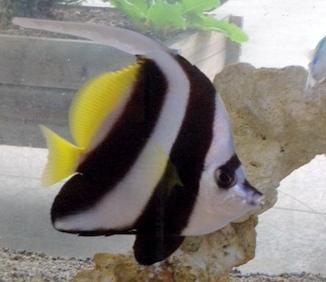 ハタダテダイ 癒し 海水魚
